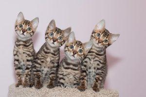Bengal Kittens Available, Bastet Exotics