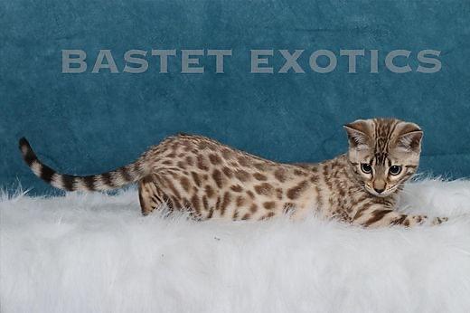 Bengals, Bastet Exotics
