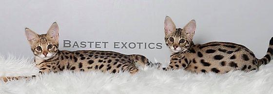 Savannah, Bastet Exotics