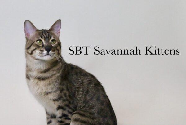 charcoal bengal catsavannah kittens canadasavannah kittens albertasavannah exoticsbastet exotics, Home, Bastet Exotics