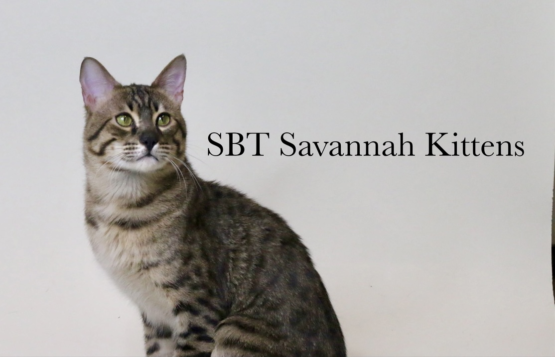SBT Savannah Kittens