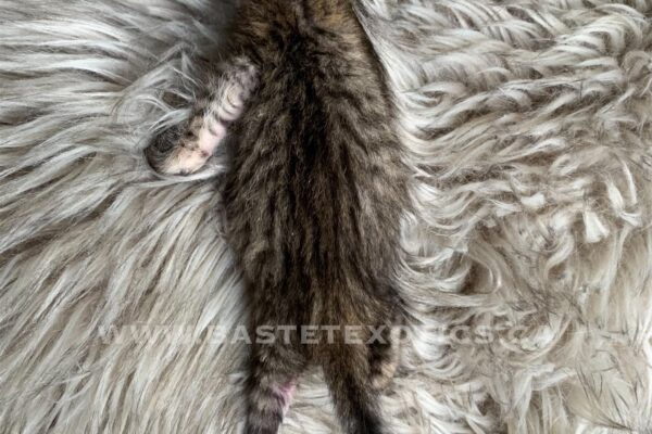 , SBT Savannah Kittens, Bastet Exotics
