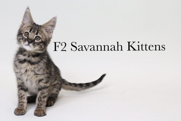 charcoal bengal cat savannah kittens canada savannah kittens alberta savannah exotics bastet exotics, Home, Bastet Exotics