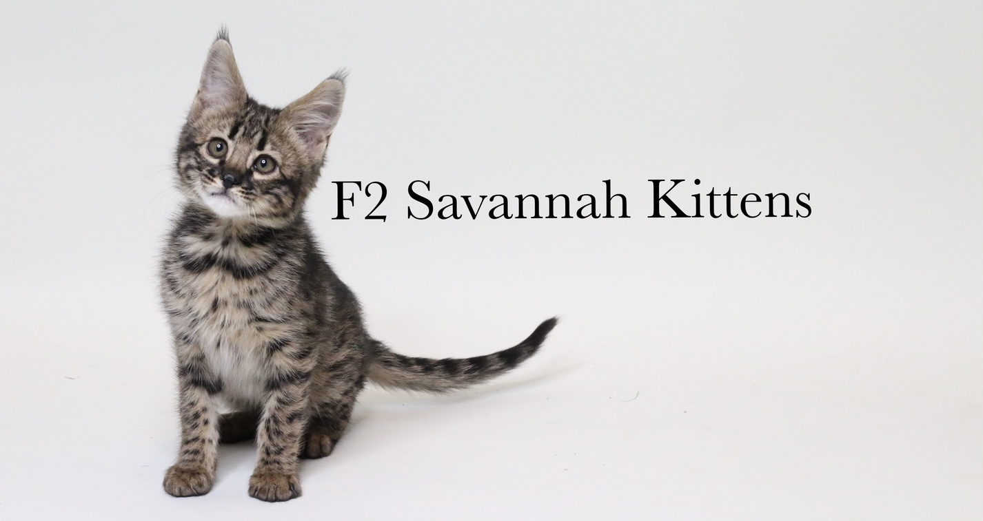 F2 SAVANNAH KITTENS