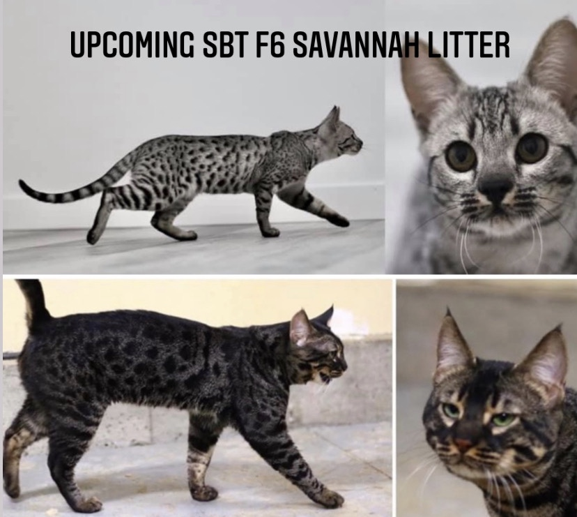 SBT F6 SAVANNAH KITTENS, Bastet Exotics