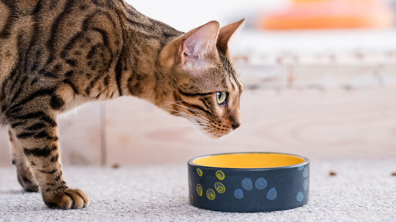 Why a Bengal Cat Makes an Excellent Companion