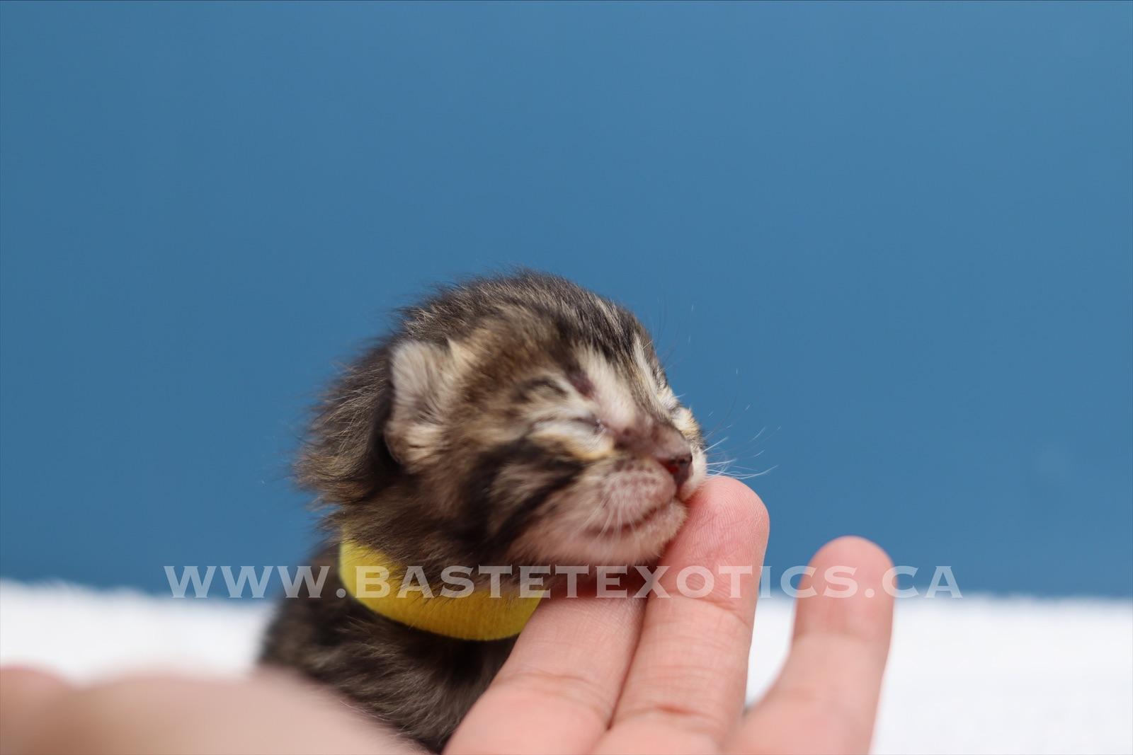 Bengal Kitten Male #4 Yellow Collar