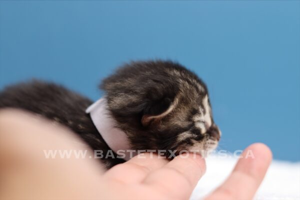 , Bengal Kitten Female # 1 White Collar, Bastet Exotics
